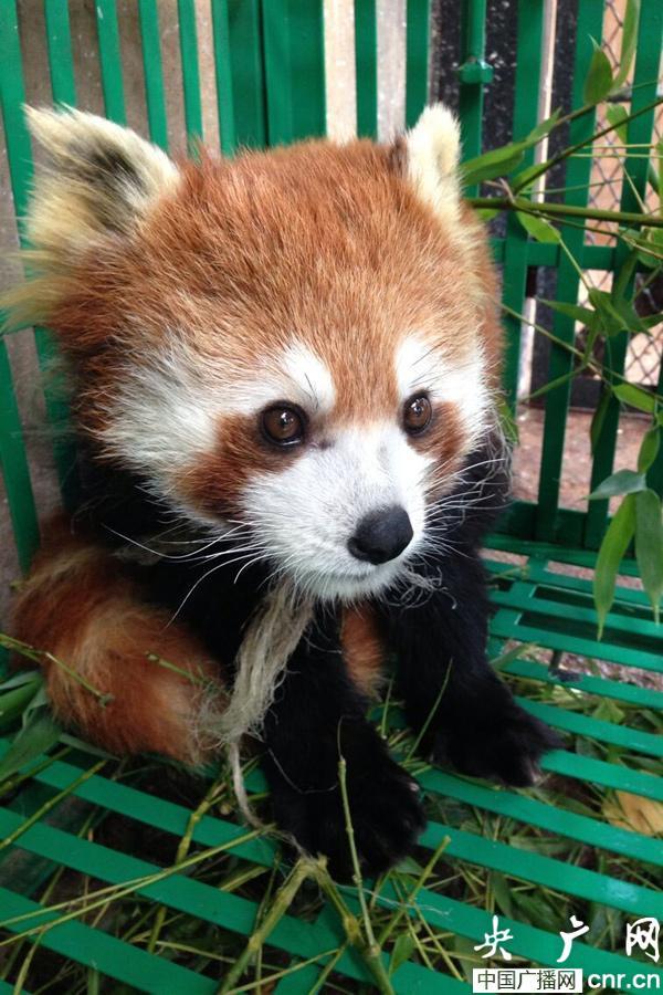 """""""越狱""""小熊猫住进云南野生动物园"""