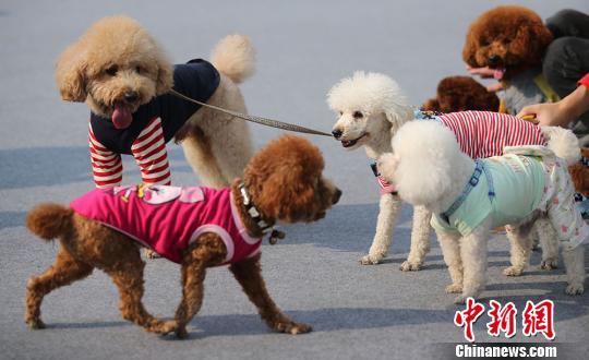 可爱的萌狗们大聚会。 泱波摄