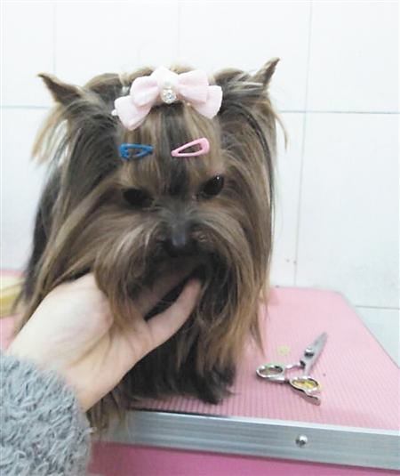 被盗的约克夏名犬 记者 韩政 摄